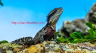 Godzilla The Iguana, Key Biscayne, Florida
