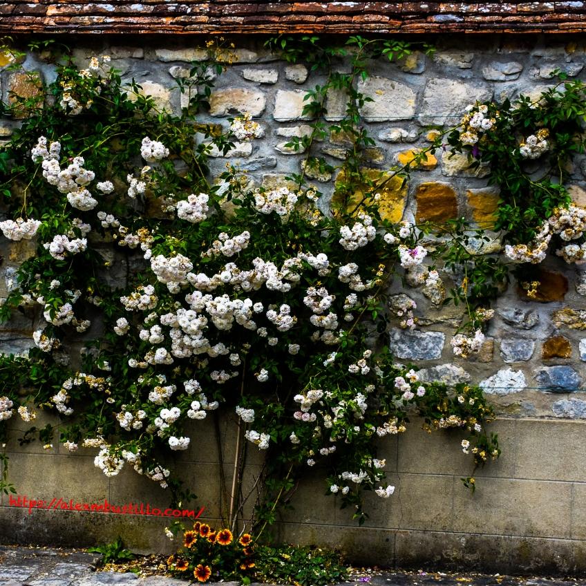Flowering Stone Wall, Barbizon, France