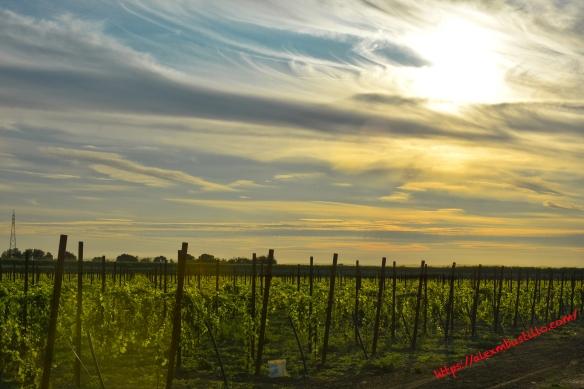 Caorle Vineyards, Caorle, Venice, Veneto, Italy